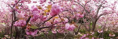 cherry blossom-festival-philadelphia